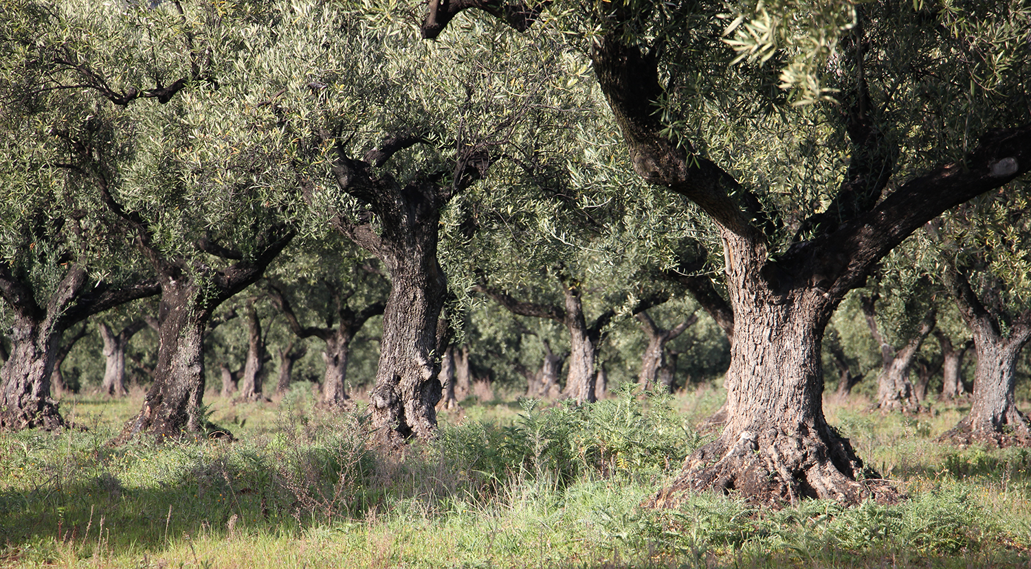 adopt an olive tree olive oil delivery olive tree adoption